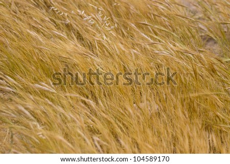 The field of a dry wheat - stock photo