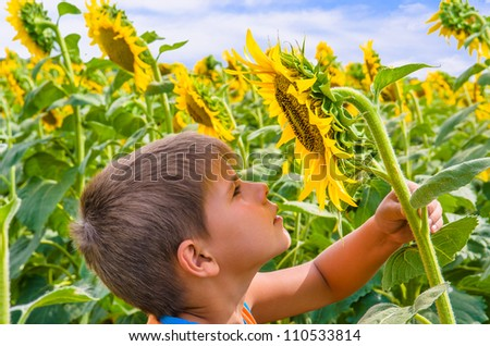 The field of blooming sunflowers. Boy smelling a sunflower - stock photo