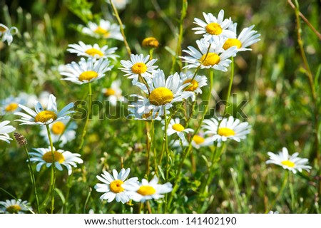 the field of daisies