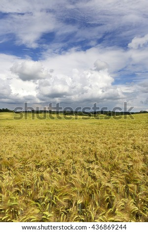 The Field of gold green Barley with storm cloudy Sky