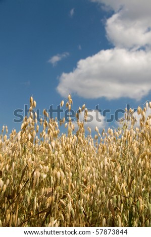 The field of oat  in the background of the cloudy sky. - stock photo