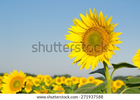 The field of sunflowers on a background of blue sky. Time of sunrise. - stock photo