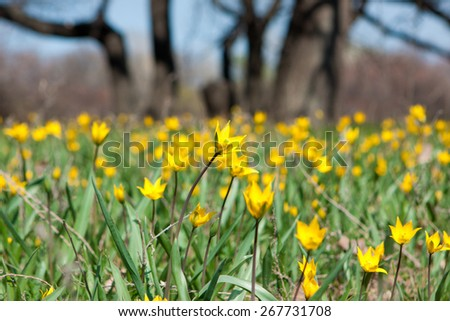 The field of wild yellow tulips in spring - stock photo