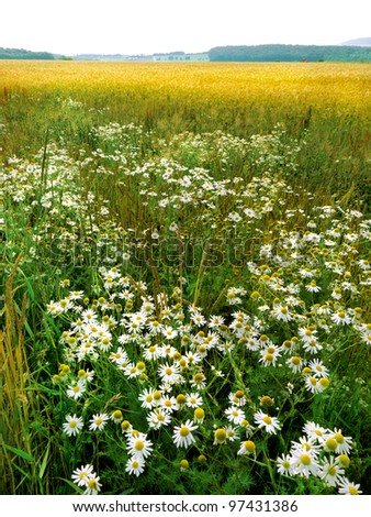 The fields and forests. Landscape. Wild camomile.