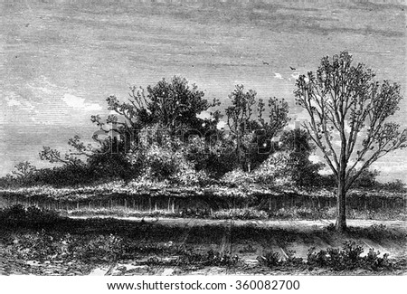 The fig tree Roscoff, Finistere department, vintage engraved illustration. Magasin Pittoresque 1869.