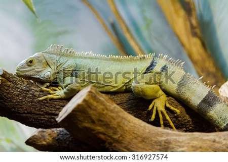 The fiji iguana (Brachylophus fasciatus) - stock photo