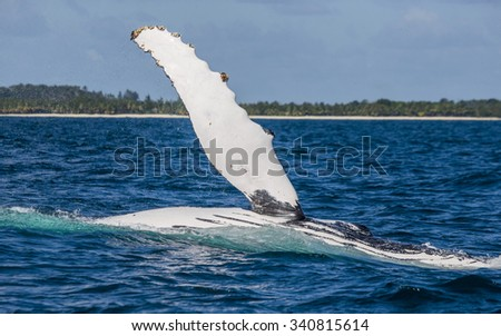 The fin humpback whale. Madagascar. St. Mary's Island. An excellent illustration.