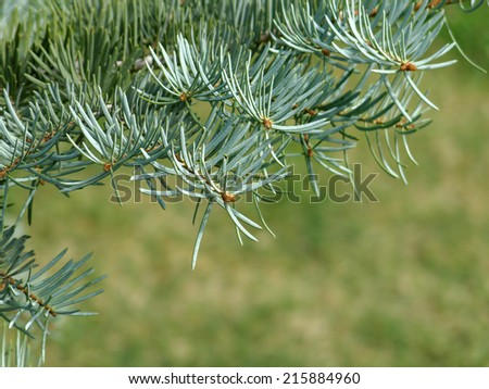the fir branch