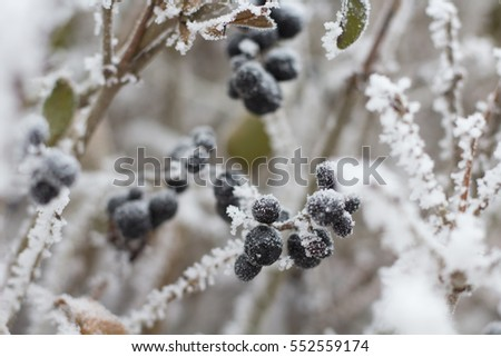 The first frosts. Frozen branches with berries / Selective focus