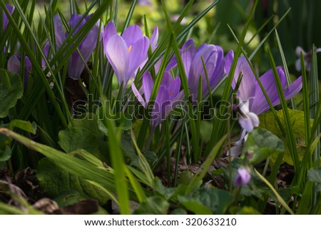 The first sign of spring and new life is the crocus flowers bursting through the ground. This lovely spring, garden scene of bright purple against the bold green grass is stunning to see. - stock photo