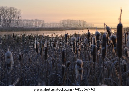 The first touch of frost. Reeds grow on the river Bank. All plants covered with frost. - stock photo