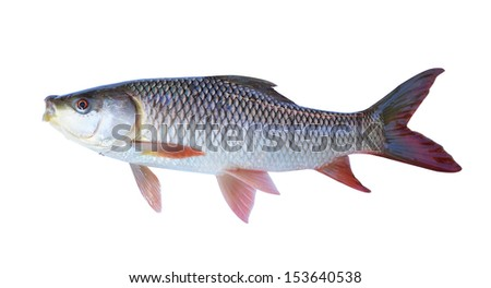 The fish on a white background - stock photo