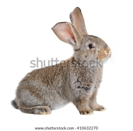 The Flemish Giant is a breed of domestic rabbit on white background. A series of images