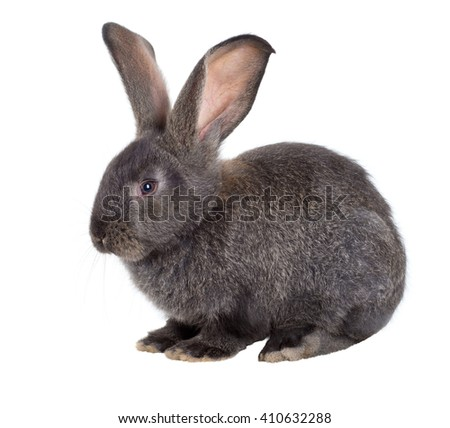 The Flemish Giant is a breed of domestic rabbit on white background. A series of images - stock photo