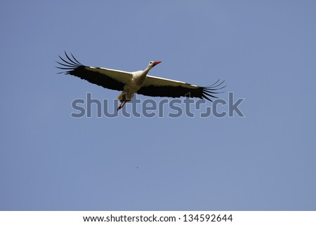 The flight of White stork; Ciconia ciconia