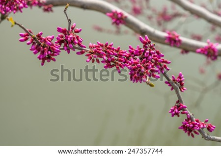 The flower buds of pink cherry blossom - stock photo