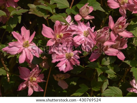 The Flower Head of Clematis Montana in a Garden in Devon, England, UK - stock photo