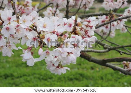 The flower of a Cherry blossom - stock photo
