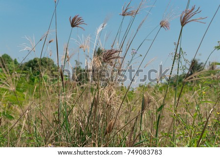 The flower of grass in the field background