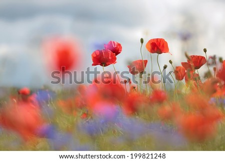 The flowers are red poppies and blue cornflowers on a background of bright colorful field. Bright summer picture.  - stock photo