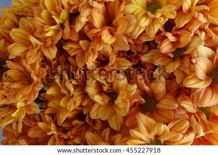 The Flowers, chrysanthemum flowers wallpaper background.  - stock photo