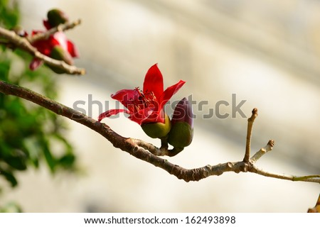 The flowers of ceiba tree, crimson kapok flowers - stock photo