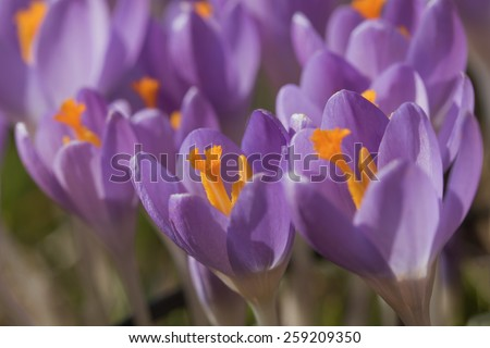 The flowers of purple crocus (saffron) closeup. - stock photo