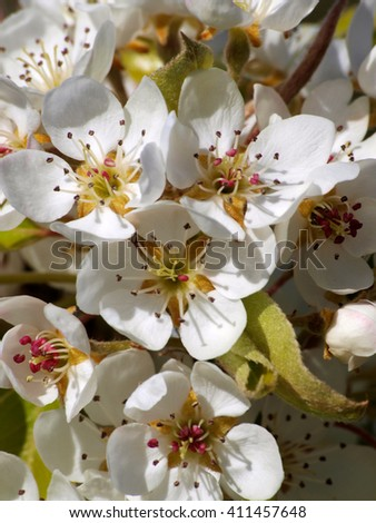 the flowers of the pear tree in spring