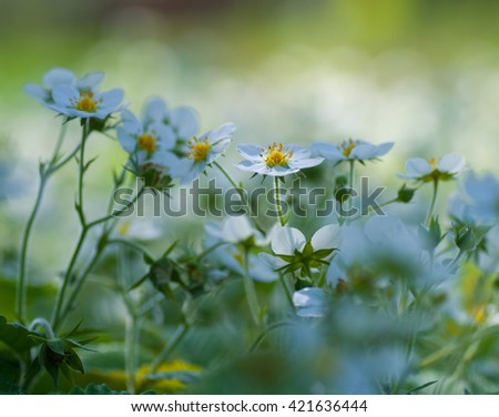 The flowers of wild strawberry on a beautiful background blur. Blooming wild strawberry in the orchard. - stock photo