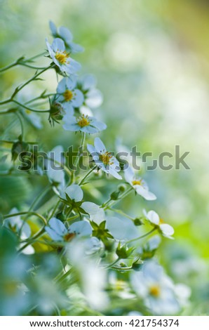 The flowers of wild strawberry on a beautiful blur background. Blooming wild strawberry in the orchard. - stock photo