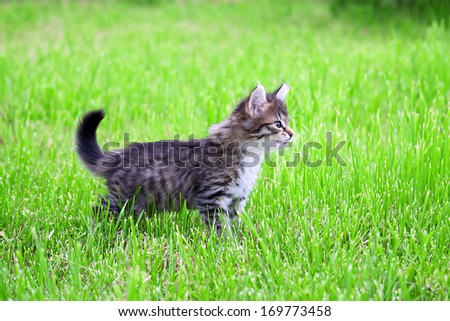 the fluffy beautiful kitten plays in a green grass - stock photo