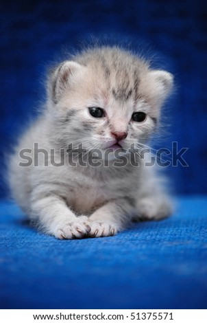 The fluffy kitten lays on a dark blue background - stock photo