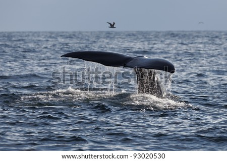 The fluke of Sperm whale as it begins a dive into the North Atlantic - stock photo