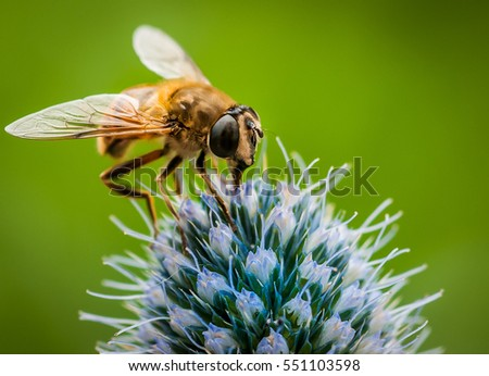 The Fly and Sea Holly.  A pollinator taking a drink from the sea holly.