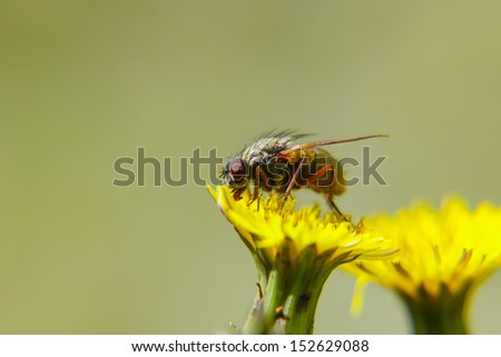 The fly likes pollen (in macro)  - stock photo