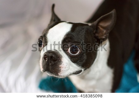 The Focused Boston Terrier - stock photo