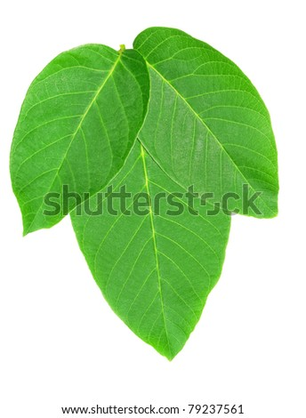 The foliage of nut is isolated on a white background