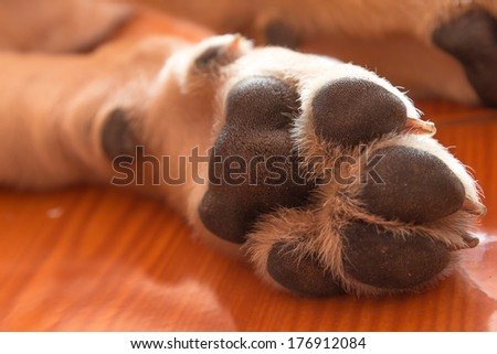 the foot with claw of labrador retriever is cute pet for the family with baby - stock photo