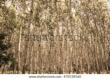 The Forest plantations rubber