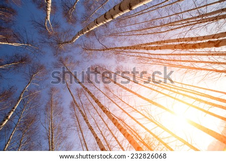 The forest with many birch-trees in a row - stock photo