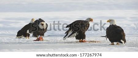 The four Bald eagles  ( Haliaeetus leucocephalus ) sits on snow and eats a salmon.  Alaska - stock photo