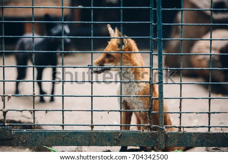 The fox behind the cage