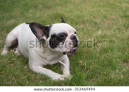 The french bulldog lying to eating dog snack on the grass field.