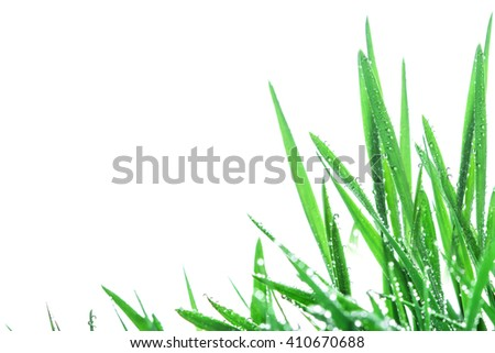 The fresh green grass with droplets after the rain background
