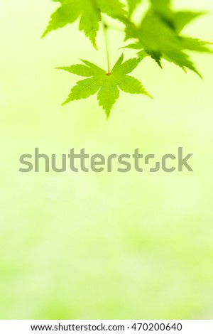 The fresh green of the maple
