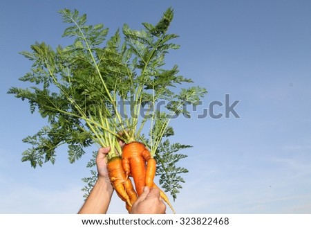 The freshest carrots / clean / still life  - stock photo