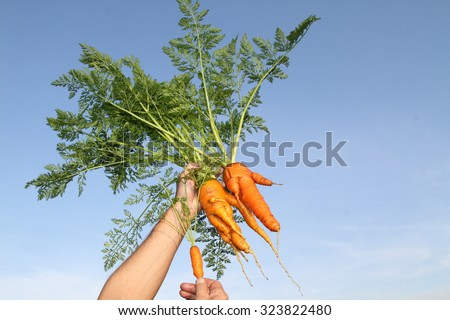 The freshest carrots / clean / still life