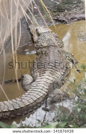 The freshwater crocodile of large. - stock photo