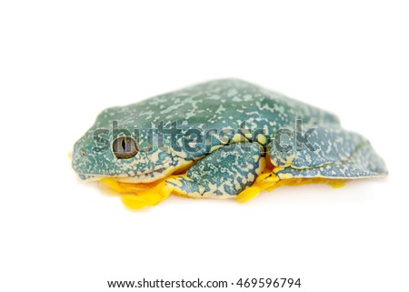 The fringe tree frog on white