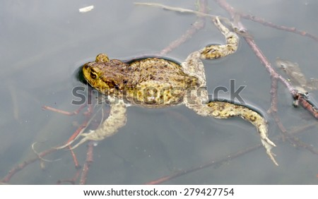 the frog floating in lake water
